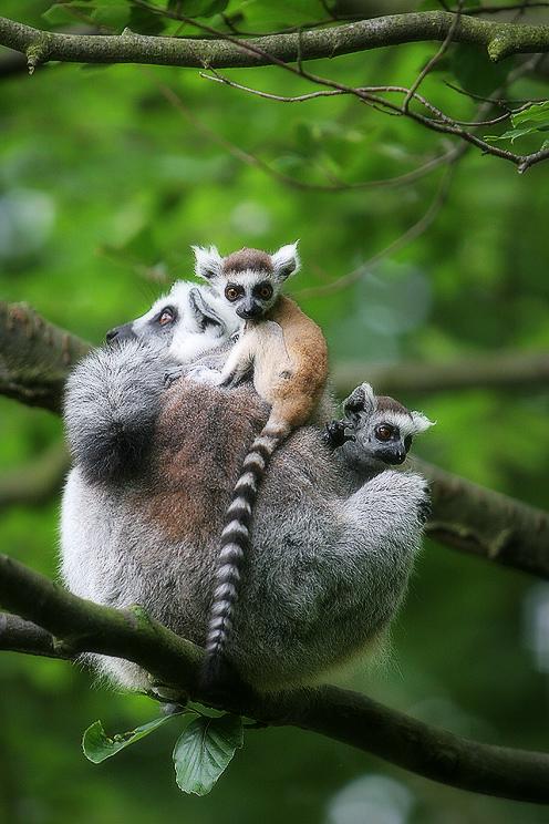 http://photoblog.entity.cz/images/lemur.jpg